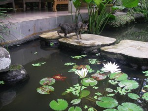 Fish pond in Bali Compound