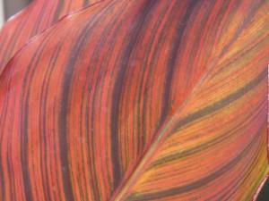 canna lilly leaf