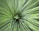 grass tree foliage
